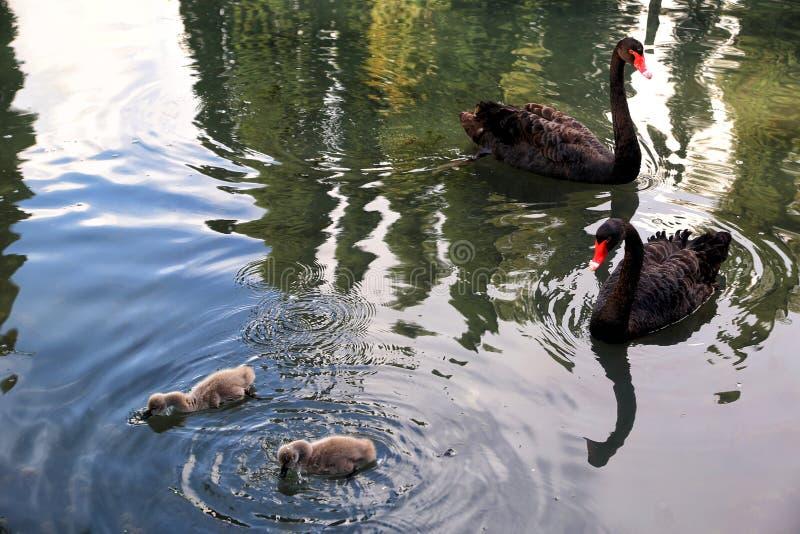Cisnes negros con los polluelos imagenes de archivo