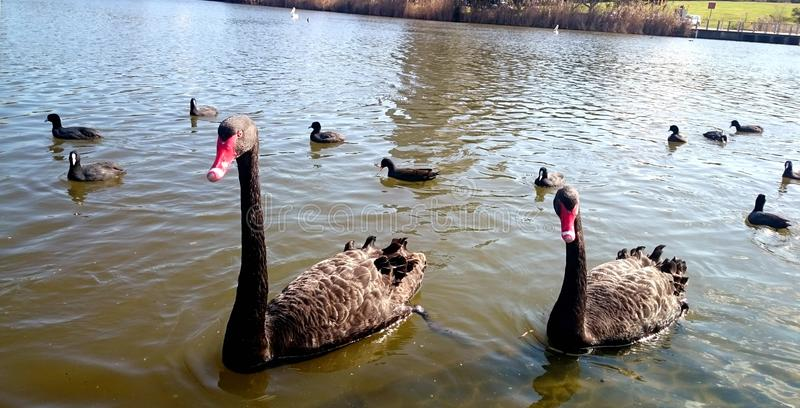Cisnes negros en el parque bicentenario de Powells Creek@, Sydney fotografía de archivo