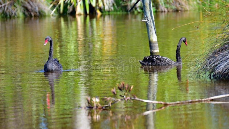 Cisnes negros que nadan en un lago en Travis Wetland Nature Heritage Park en Nueva Zelanda fotografía de archivo libre de regalías