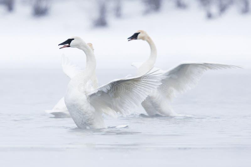 Cisnes no bailado na água fotografia de stock