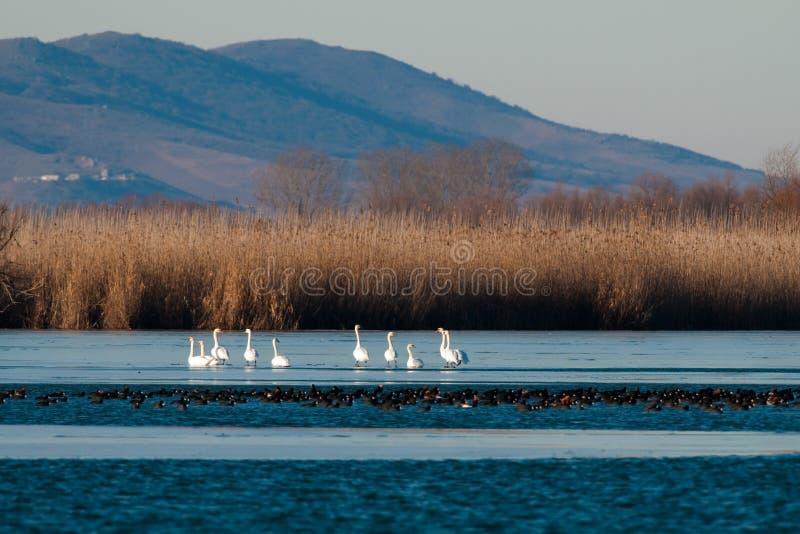 Cisnes no gelo imagens de stock royalty free