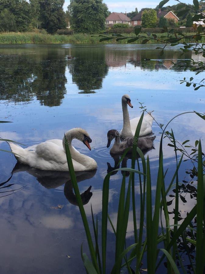 Cisnes no lago imagem de stock