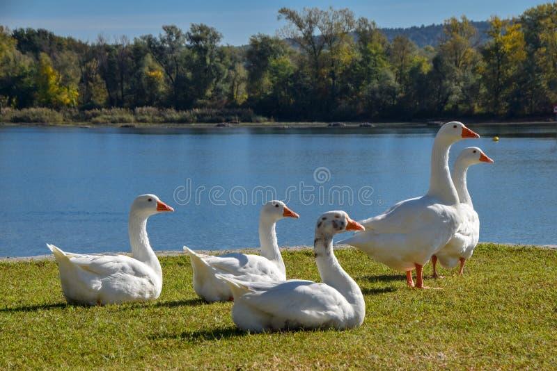 Cisnes no lago fotos de stock
