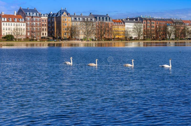 Cisnes no lago foto de stock royalty free