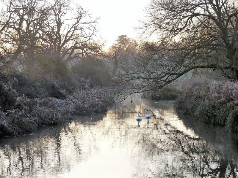 Cisnes no nascer do sol na xadrez do rio na parte inferior de Sarratt, Hertfordshire fotografia de stock