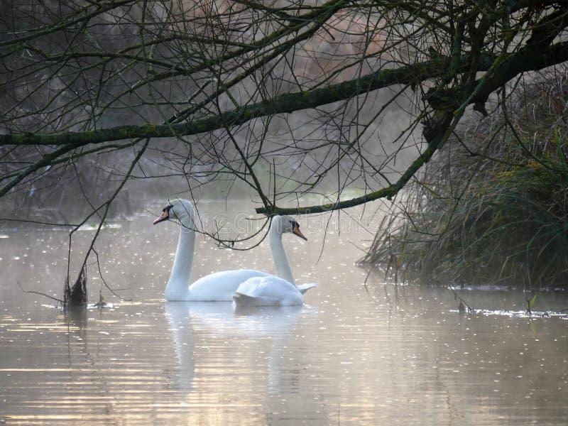 Cisnes no nascer do sol na xadrez do rio na parte inferior de Sarratt, Hertfordshire imagens de stock royalty free