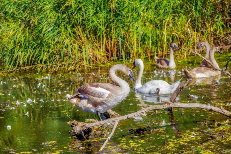 Cisnes no pântano fotos de stock