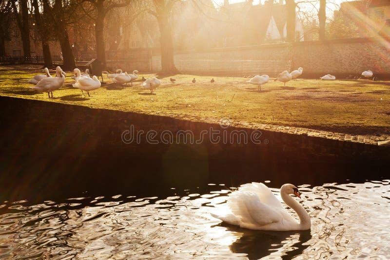 Cisnes no parque Bruges foto de stock royalty free