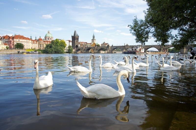 Cisnes no rio de Vltava em Praga foto de stock royalty free