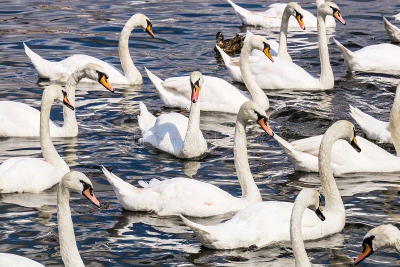 Cisnes no rio de Vltava, Praga fotografia de stock