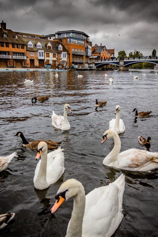 Cisnes no rio Tamisa na cidade de Windsor imagem de stock royalty free