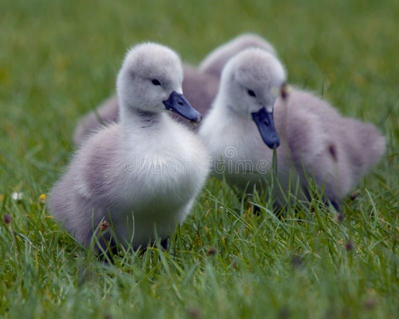 Cisnes novos imagens de stock