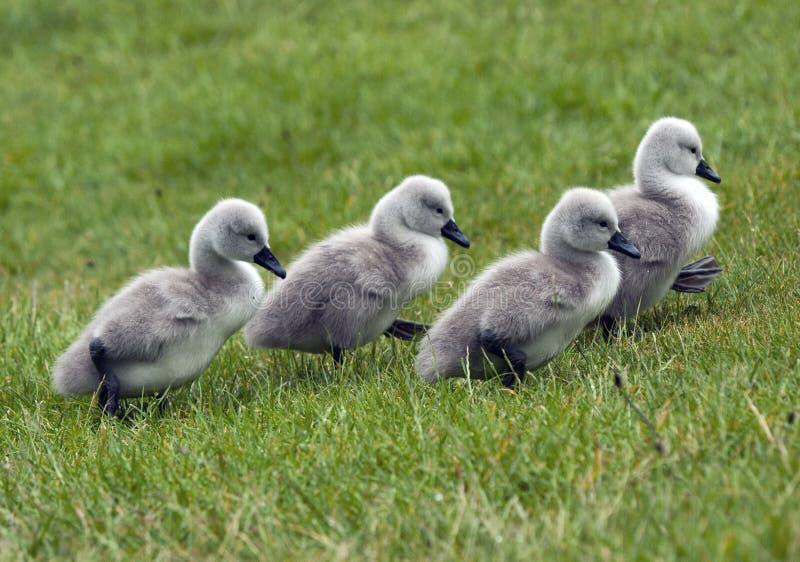 Cisnes novos imagem de stock royalty free