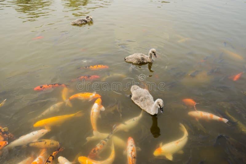 Cisnes novos e carpas fotos de stock