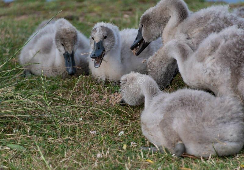 Cisnes novos que alimentam em fatballs fotos de stock royalty free