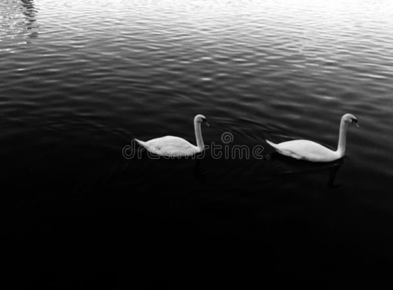Cisnes para fora para uma nadada em torno do lago fotos de stock
