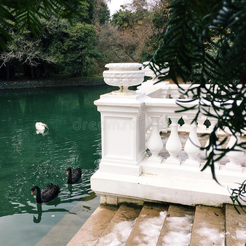 Cisnes pretas em um lago de turquesa do inverno, ao lado de uma balaustrada bonita branca fotos de stock royalty free