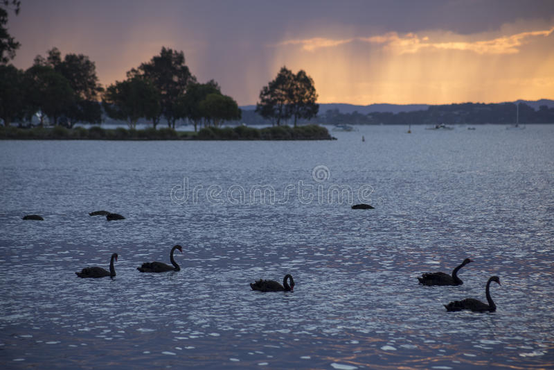 Cisnes pretas no lago Maquarie fotos de stock royalty free