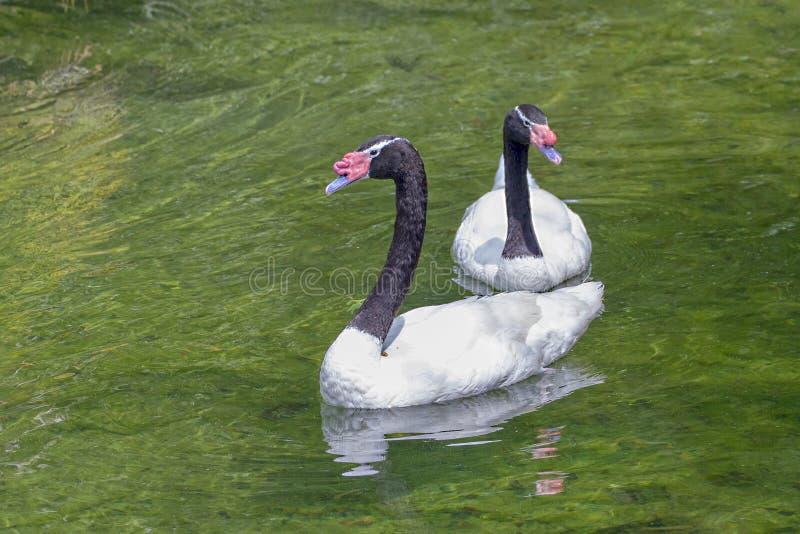 cisnes Preto-necked fotografia de stock