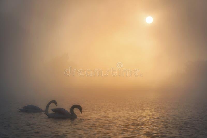 Cisnes que descansam em um lago nevoento fotos de stock
