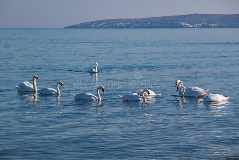 Cisnes que nadam no mar do inverno fotografia de stock royalty free
