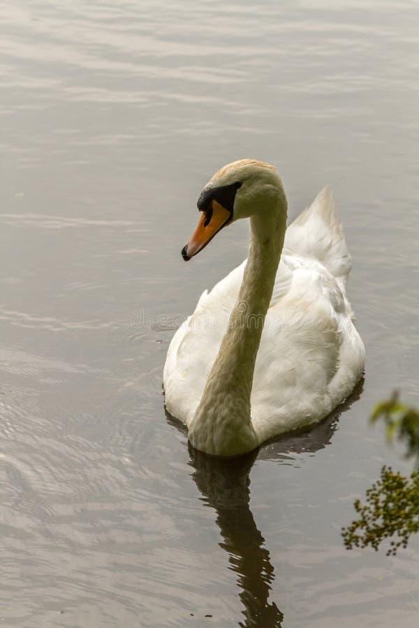 Cisnes que nadan en el lago ondulado foto de archivo