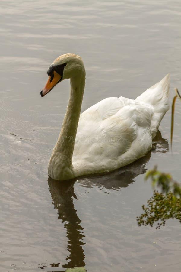 Cisnes que nadan en el lago ondulado fotos de archivo libres de regalías