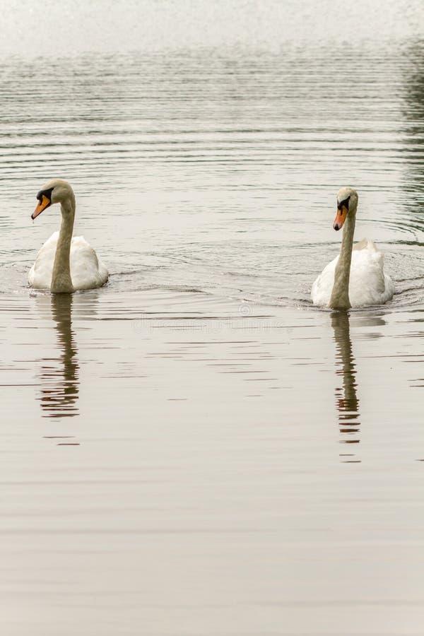 Cisnes que nadan en el lago ondulado imagen de archivo