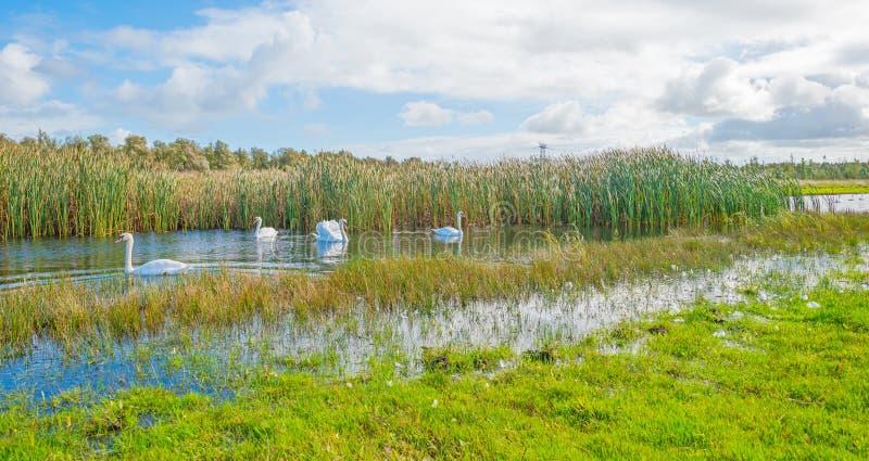 Cisnes que nadan a lo largo de la orilla de un lago en otoño fotos de archivo
