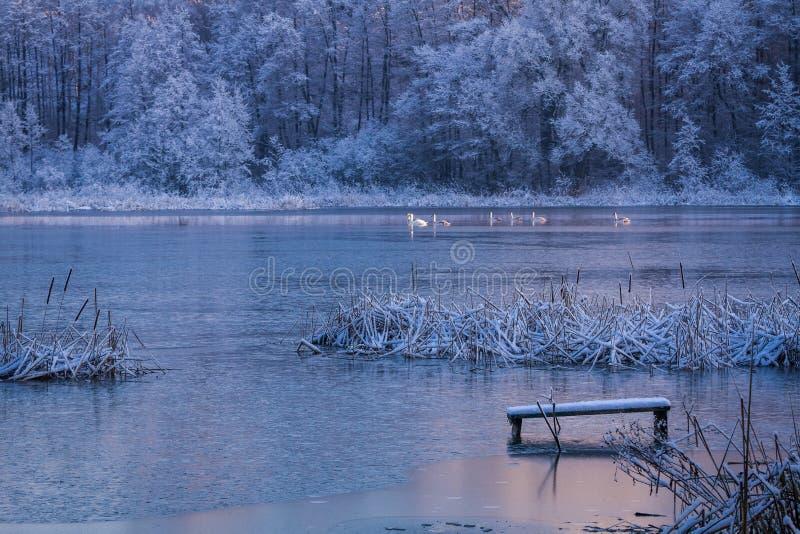 Cisnes que pasan a través del lago en invierno foto de archivo libre de regalías