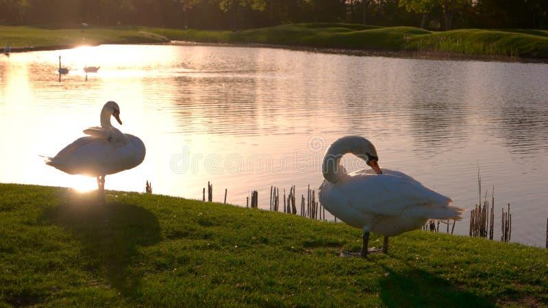 Cisnes que picotean plumas en un césped verde imagen de archivo