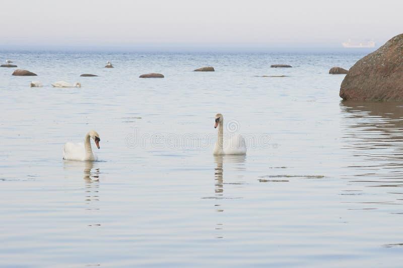 Cisnes que swimmning perto do seacoast do mar Báltico foto de stock