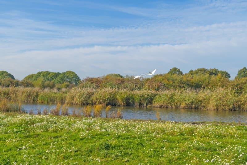 Cisnes que vuelan sobre la orilla de un lago en luz del sol fotos de archivo libres de regalías
