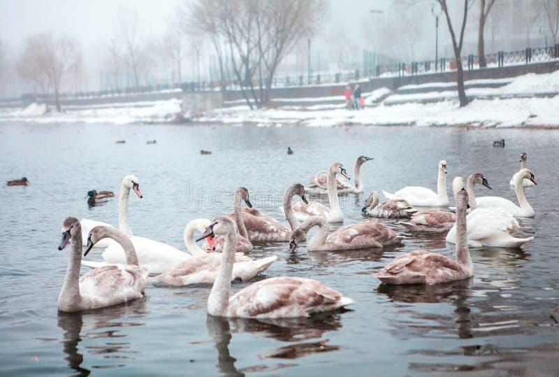 cisnes selvagens em um parque da cidade imagem de stock royalty free