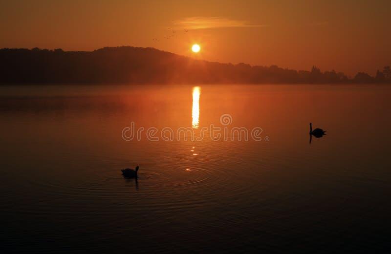 Cisnes silueteados en una salida del sol rojiza reflejada en el dep?sito de Ravensthorpe, Ravensthorpe, Northamptonshire fotos de archivo libres de regalías