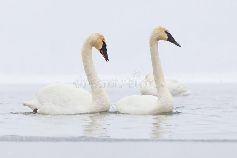 Cisnes sincronizados que nadan imagen de archivo