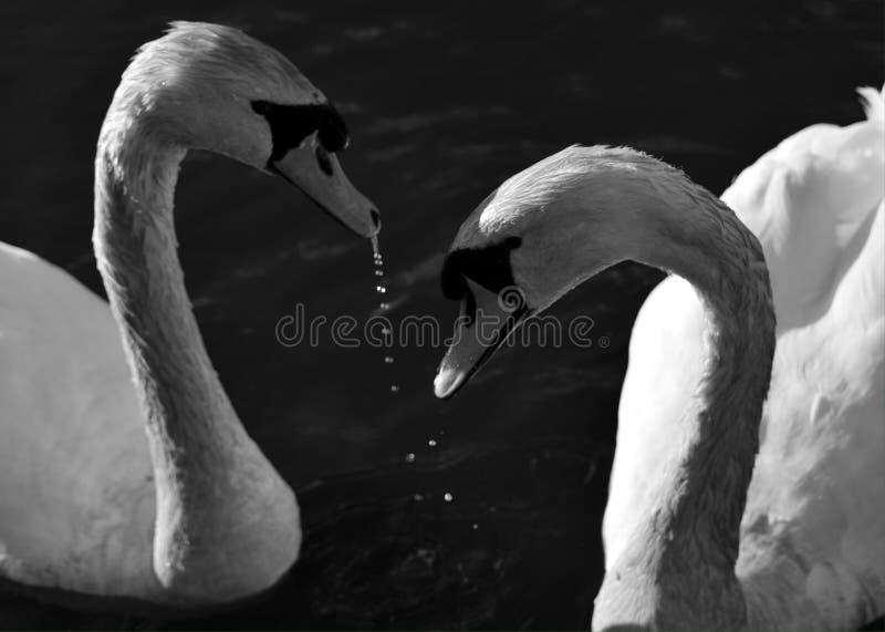 Cisnes sobre fotos de stock royalty free