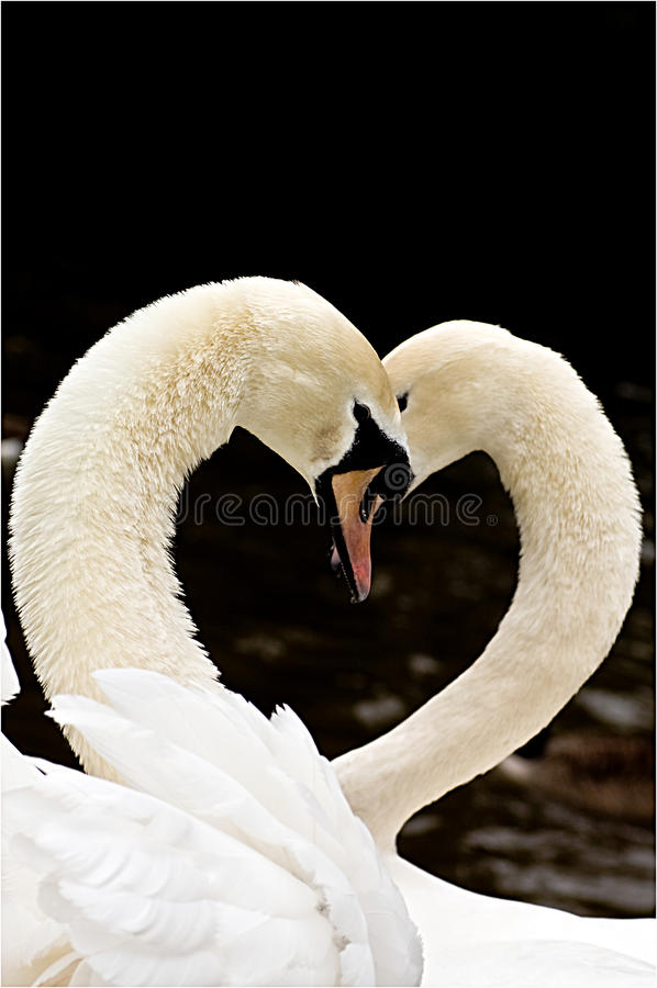 Cisnes y amor foto de archivo libre de regalías