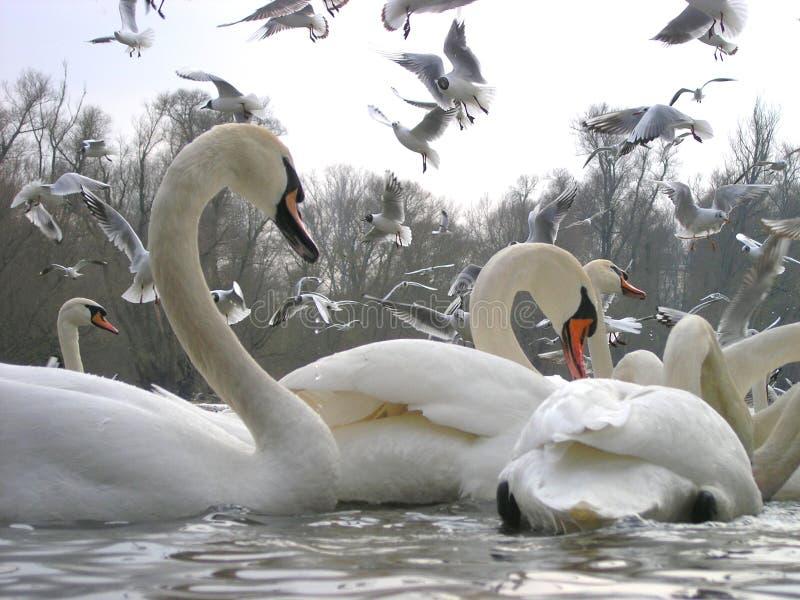 Cisnes y gaviotas fotografía de archivo libre de regalías