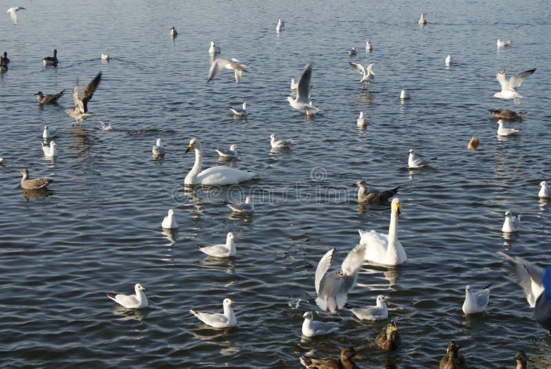 Cisnes y patos fotografía de archivo