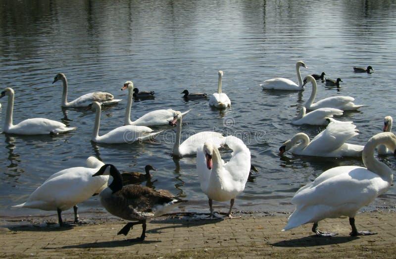 Cisnes y patos en el d?a soleado fotografía de archivo
