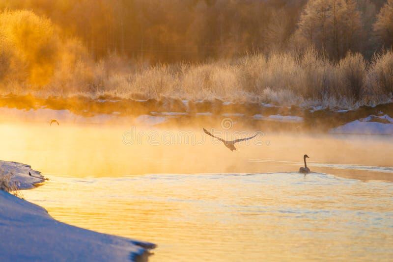 Cisnes y patos en el lago del invierno en la salida del sol brillante foto de archivo libre de regalías