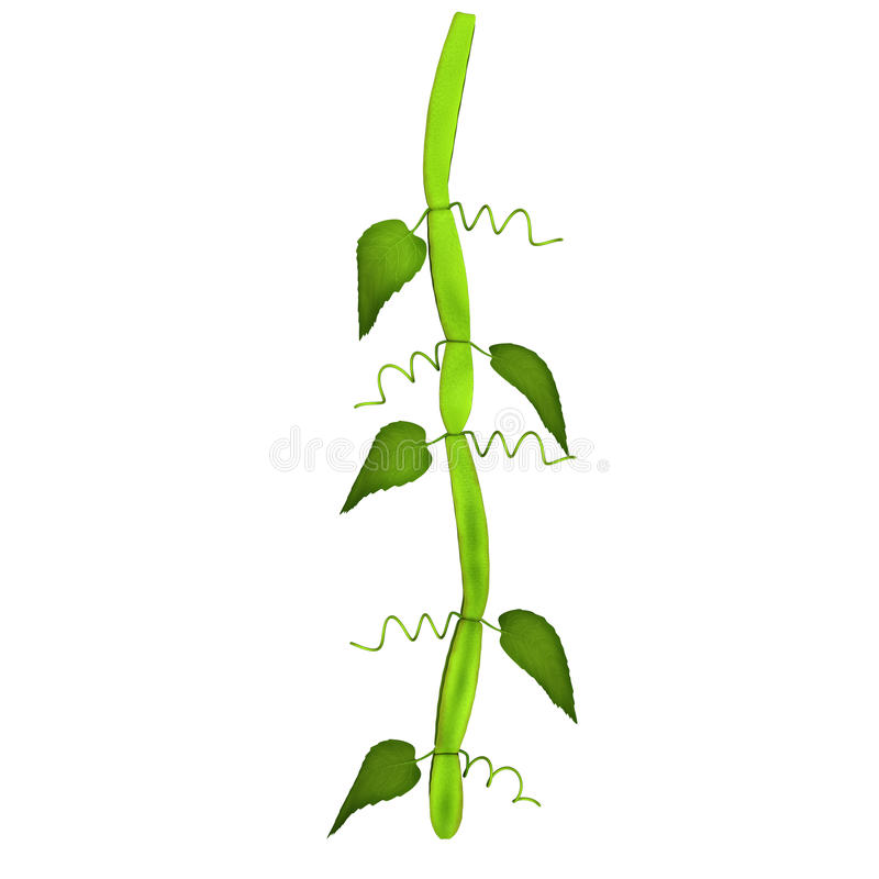 Cissus royalty free stock images