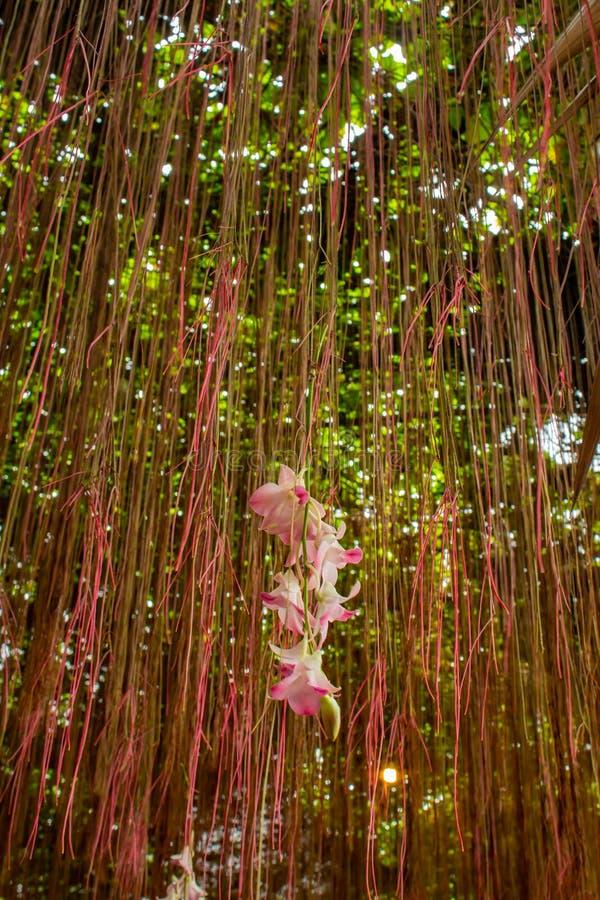 Cissus nodosa Blume i trädgård fotografering för bildbyråer