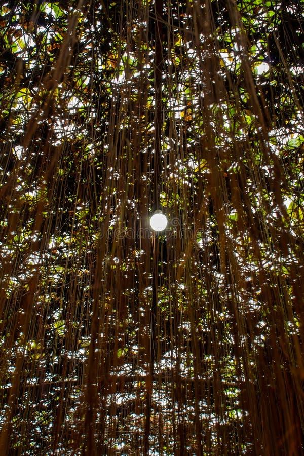 Cissus nodosa Blume i trädgård arkivfoton
