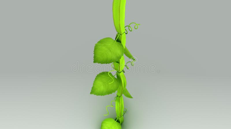 Cissus. Quadrangularis is a perennial plant of the grape family. It is also known as veldt grape, devil`s backbone, adamant creeper, asthisamharaka, hadjod and royalty free stock image
