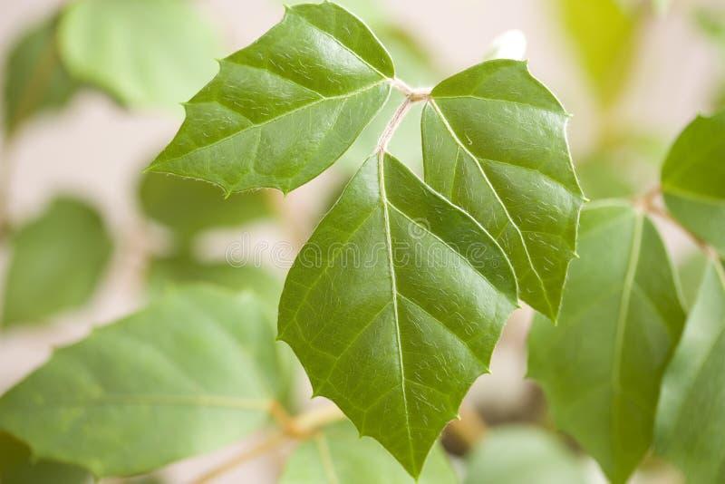 Cissus rhombifolia stockfotos