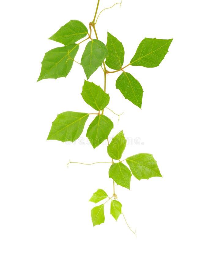 Cissus rhombifolia.brunch en blanco fotografía de archivo