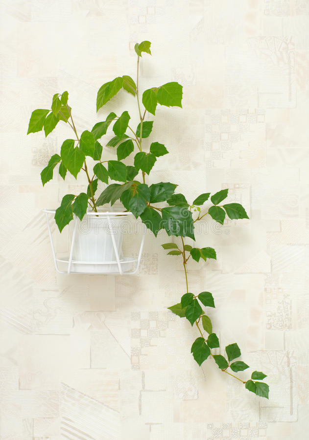 Cissus Rhombifolia In Pot On Wall Stock Photos