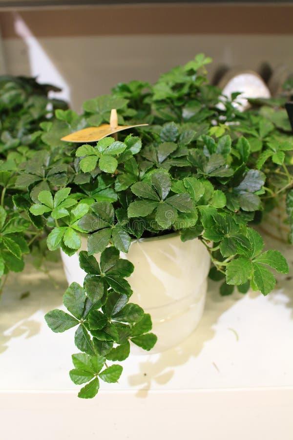 Cissus striata. Miniature Grape Ivy. royalty free stock images